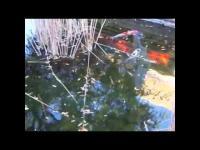big fish little pond